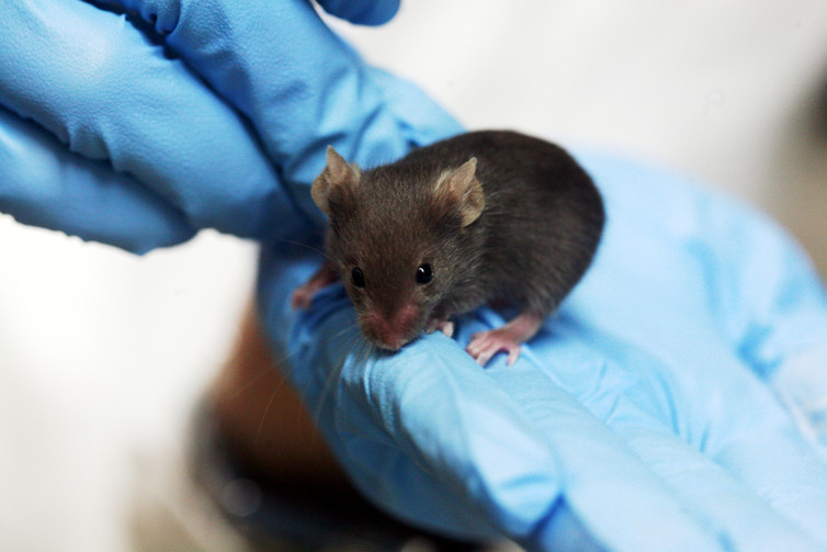 Lab mouse. - Image Credit:  Rama/wikipedia ,  CC BY-SA