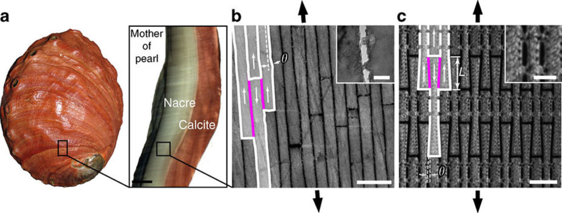 A cross-section from a red abalone ( Haliotis rufescens ) shell shows its brick wall mechanical design. - Image Credit:  Espinosa et al., Nature Communications 2, 173 (2011) ,  CC BY