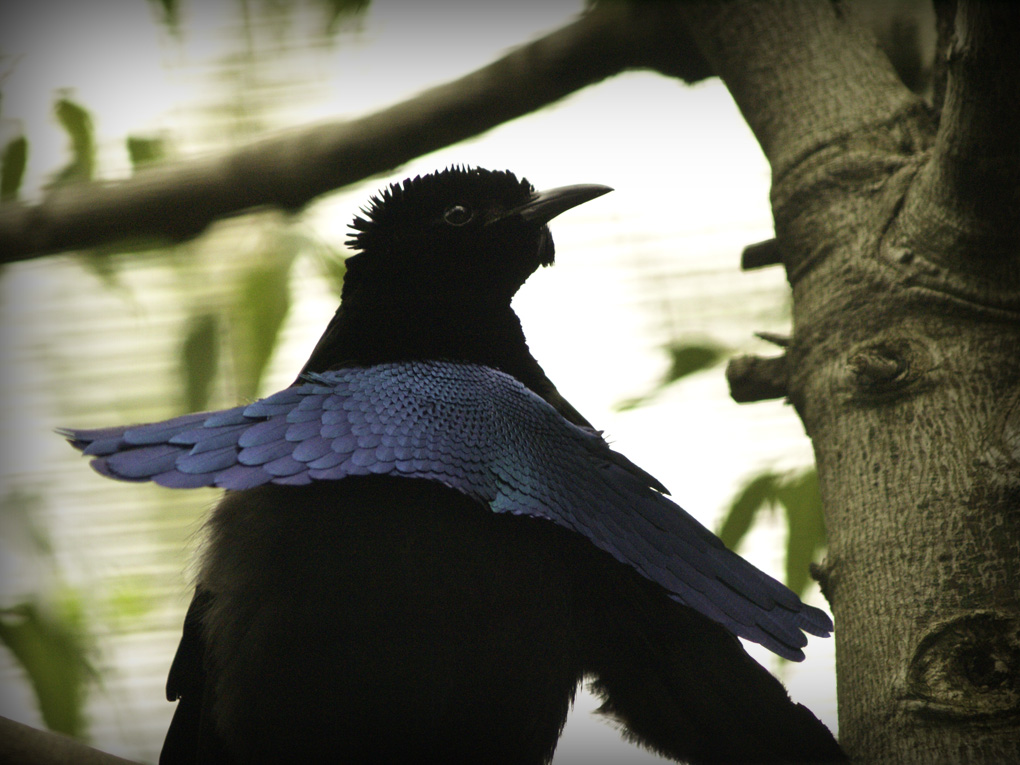 Super-black feathers on these guys are like looking into a dark cave. - Image Credit: Natasha Baucas , CC BY-SA