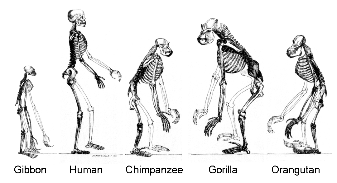 Primates tend to have large brains compared to their body but the effect is extreme in humans. - Image Credit:  CNX OpenStax via Wikimedia Commons