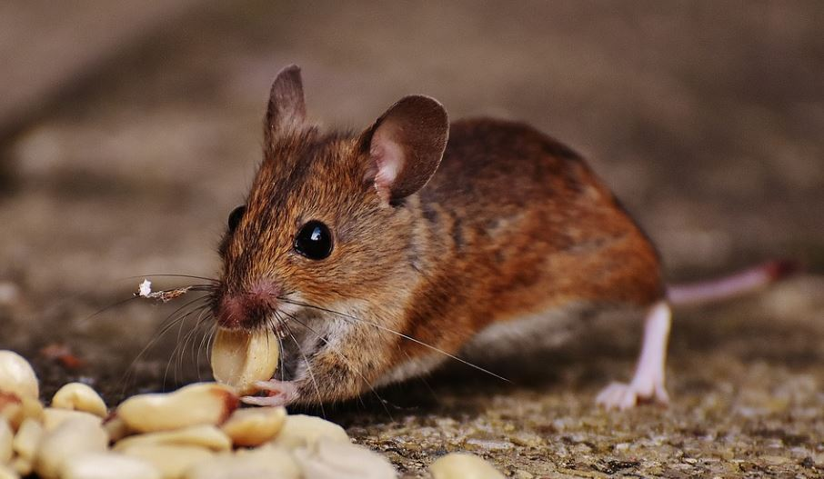Mice ate less after working out -  Image Credit: Max Pixel