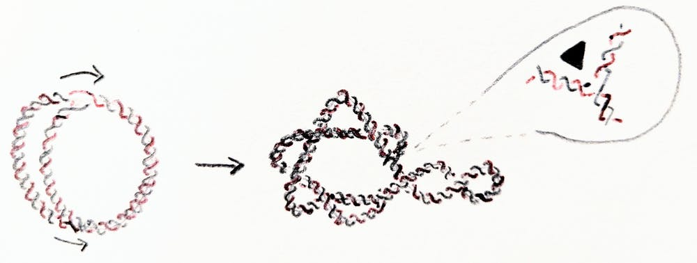 Replication of a circular DNA molecule. The arrows show the direction of replication (left). The new molecules interlink in this process (right). - Image Credit: Mariel Vazquez,  CC BY