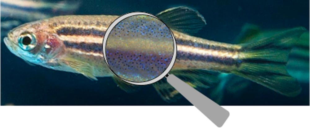 Look closer at zebrafish's striped bodysuit and you'll find the tiny pigment cells that make up its patterns.  Images adapted by Alexandria Volkening from Oregon State University/Wikimedia and from Development 2013 (doi:10.1242/dev.096719) ,  CC BY-SA