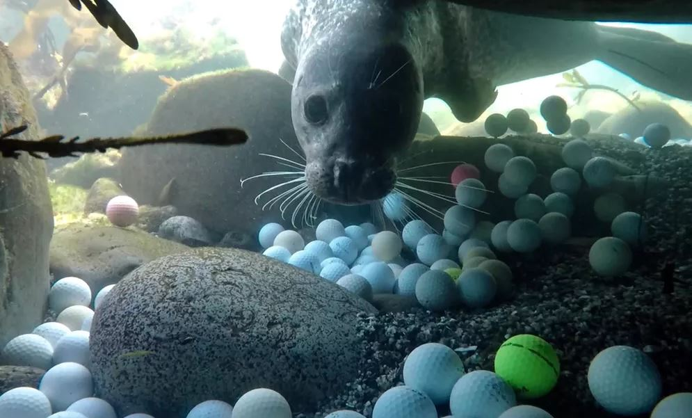 A harbor seal investigates a member of the golf ball recovery team. - Image Credit: Alex Weber,  CC BY-ND