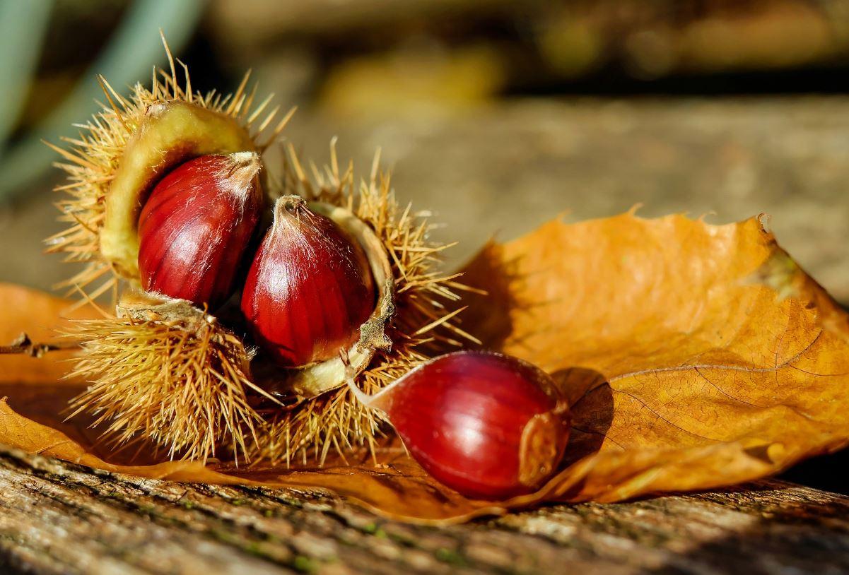 Chestnut in autumn - Image Credit:  Couleur via Pixabay