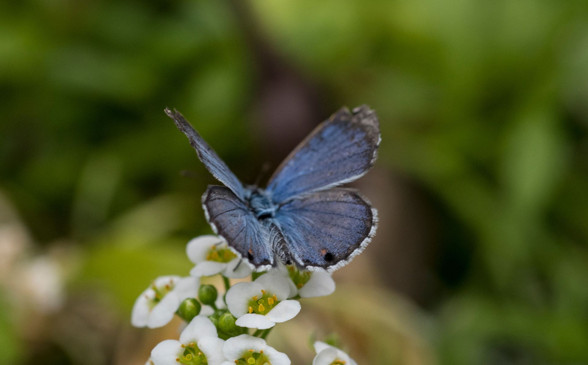 Scientists are raising Miami blue butterflies in captivity and reintroducing them in south Florida. - Image Credit:  Jeff Gage/Florida Museum of Natural History ,  CC BY-ND