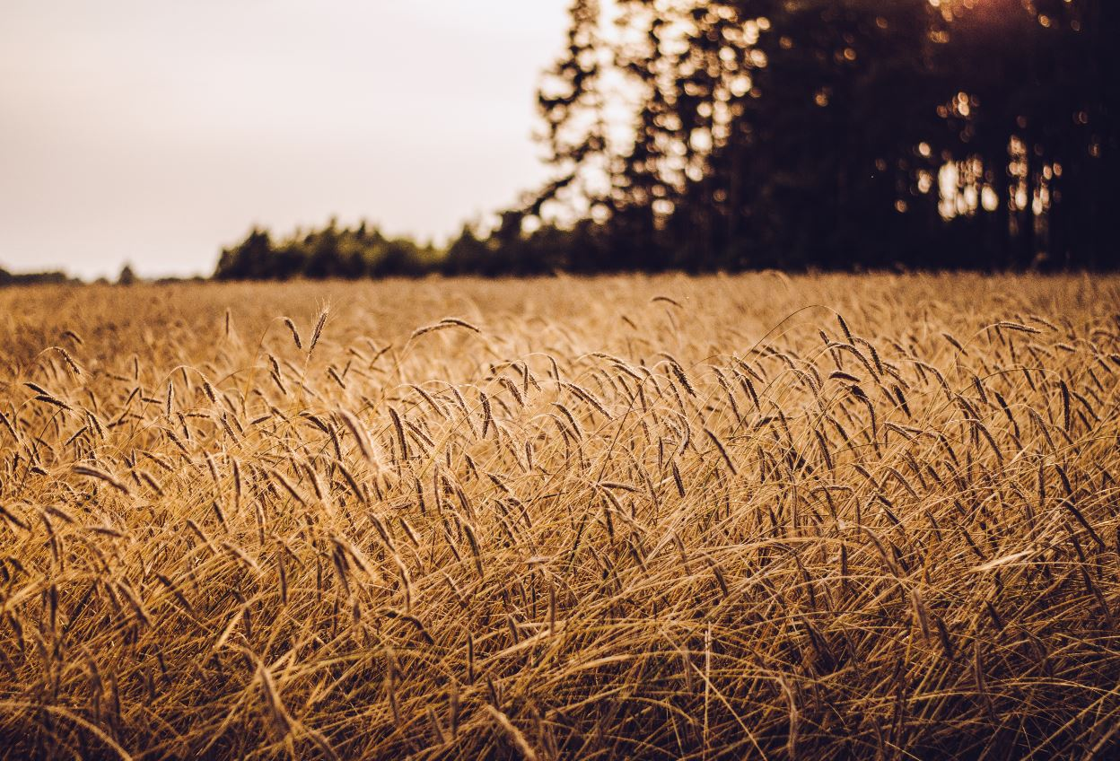 Milling grain meant less wear and tear on neolithic teeth, which had other effects on language  - Image Credit:  Paweł Wiśniewski via Unsplash