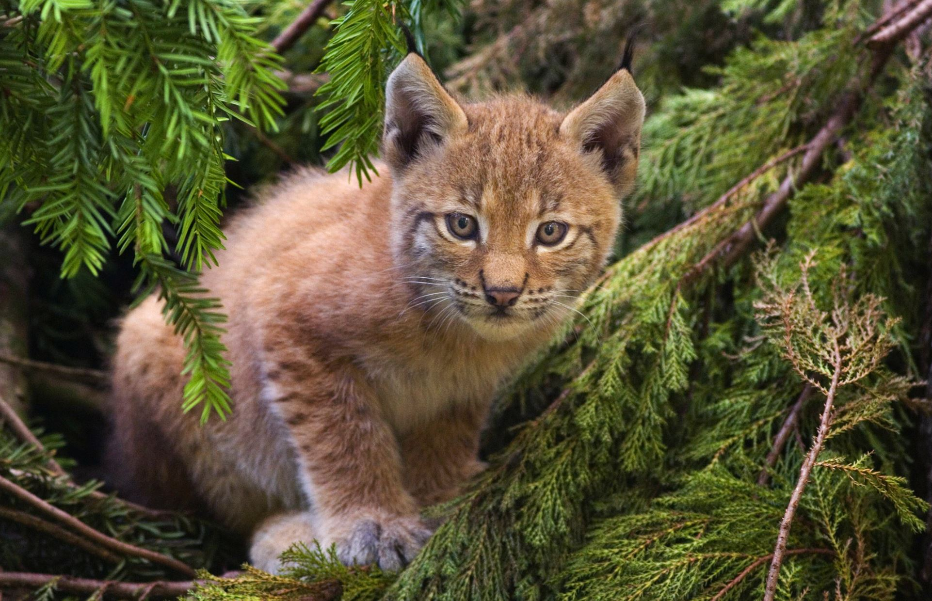 Lynx were driven to extinction in the UK during the Medieval period - Image Credit:  Bernard Landgraf via Wikimedia Commons