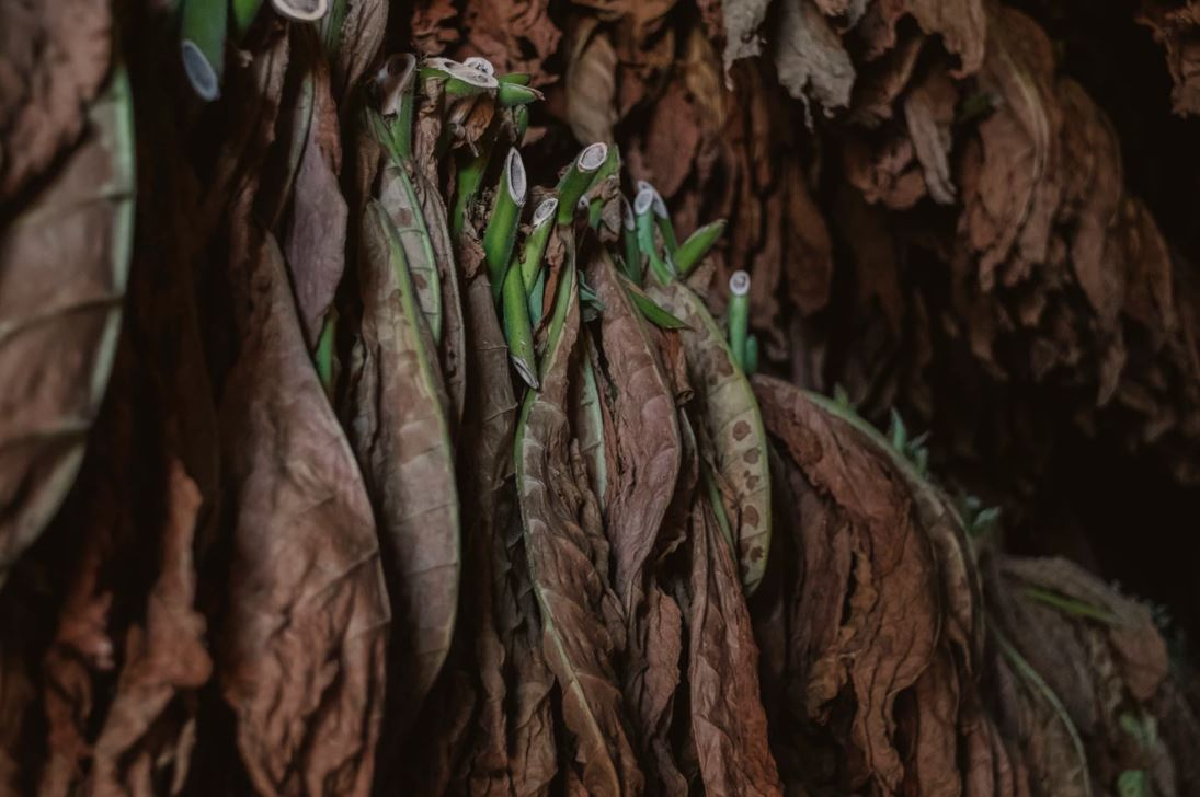 Tobacco leaves were exported to Europe for experimentation in treating the symptoms of spring time coughing and sneezing - Image Credit:  Alex Plesovskich via Unsplash