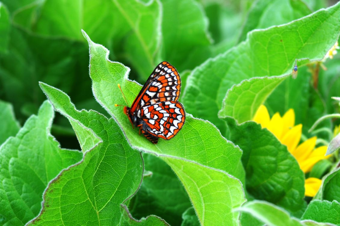 The Taylor's checkerspot butterfly, once found throughout grasslands in the Pacific Northwest, was listed as endangered in 2013. The main cause is habitat loss, driven by development, tree encroachment and spread of invasive plants - Image Credit:. USFWS/Ted Thomas ,  CC BY