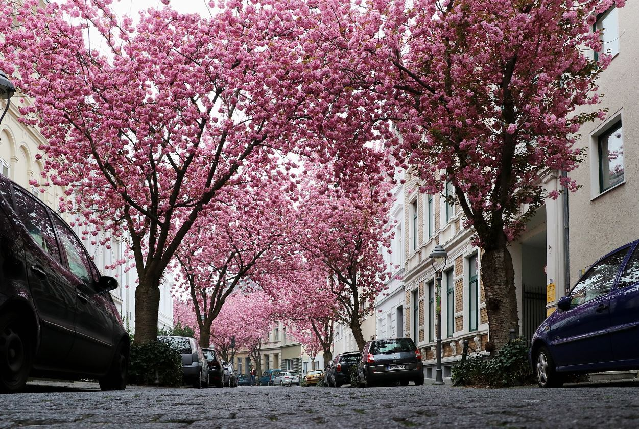 Street trees at their best in Bonn, Germany. - Image Credit:  herbert2512 via pixabay
