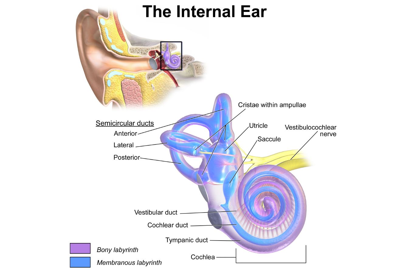 """This diagram of the ear shows the vestibular nerve, which is central to our balance - Image Credit: Blausen.com staff (2014). """" Medical gallery of Blausen Medical 2014 """".  WikiJournal of Medicine   1  (2).  DOI : 10.15347/wjm/2014.010 .  ISSN  2002-4436"""