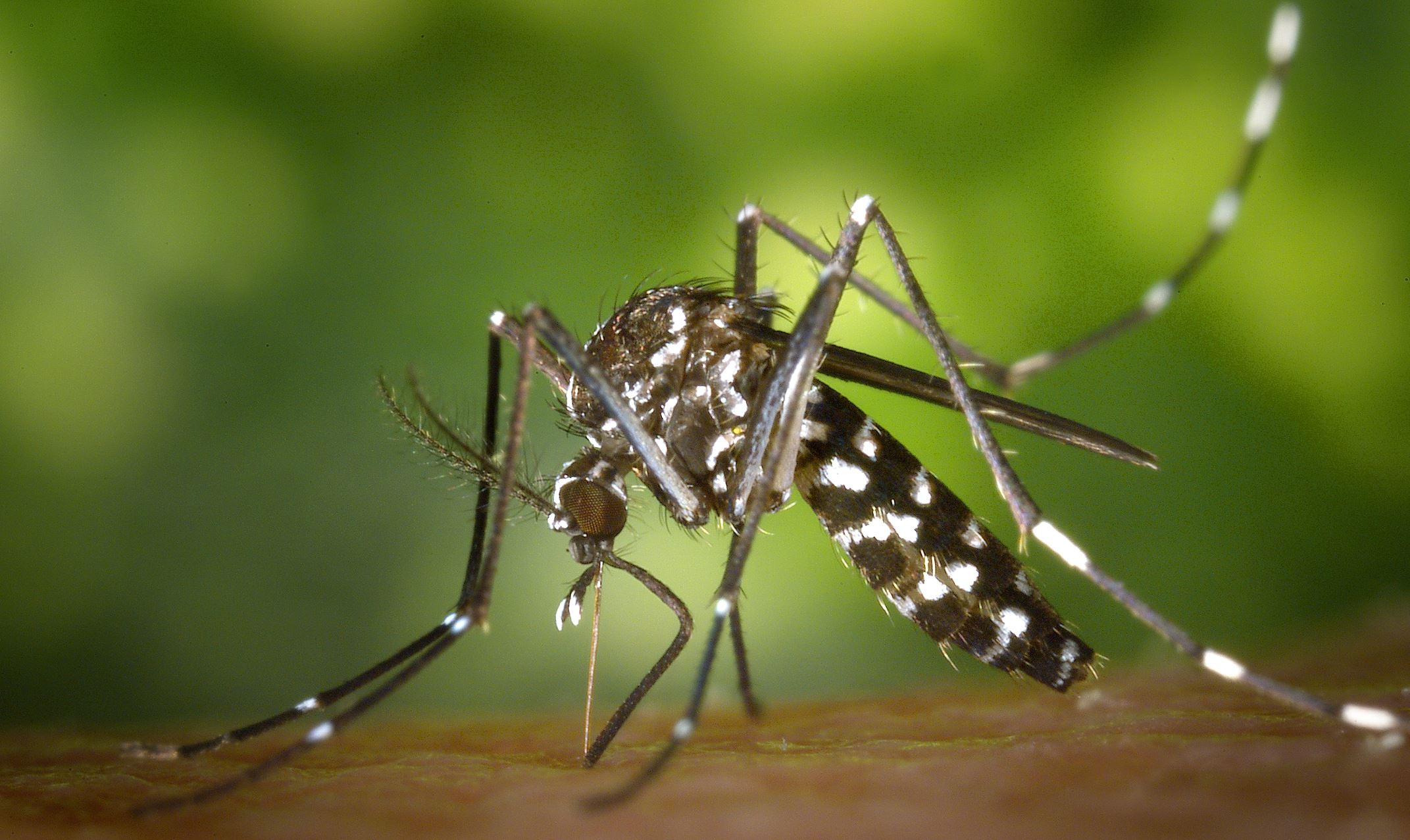 The Asian tiger mosquito has been genetically altered in lab experiments with CRISPR technology in an attempt to limit the spread of disease. - Image Credit:  CDC via Wikimedia Commons