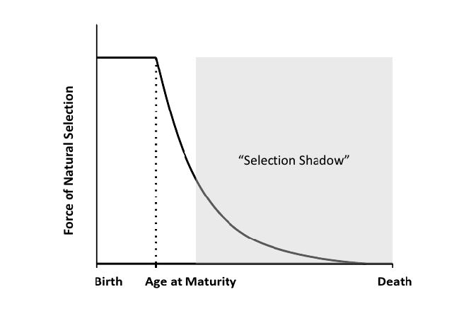 The selection shadow is the diminished force of selection with age and reproductive decline.  Source: Fabian and Flatt, 2011