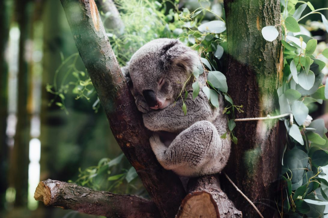 Koalas are a key part of eucalyptus forests' health.- Image Credit:  Jordan Whitt via Unsplash