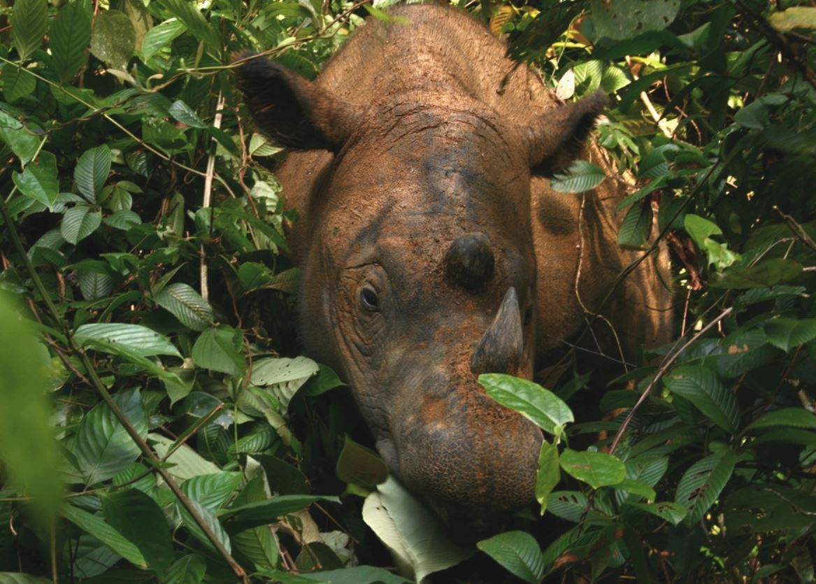 Rosa in the Sumatran Rhino (Dicerorhinus sumatrensis) Sanctuary, Way Kambas, Sumatra, Indonesia. - Image Credit:  Willem v Strien/Wikipedia ,  CC BY-SA