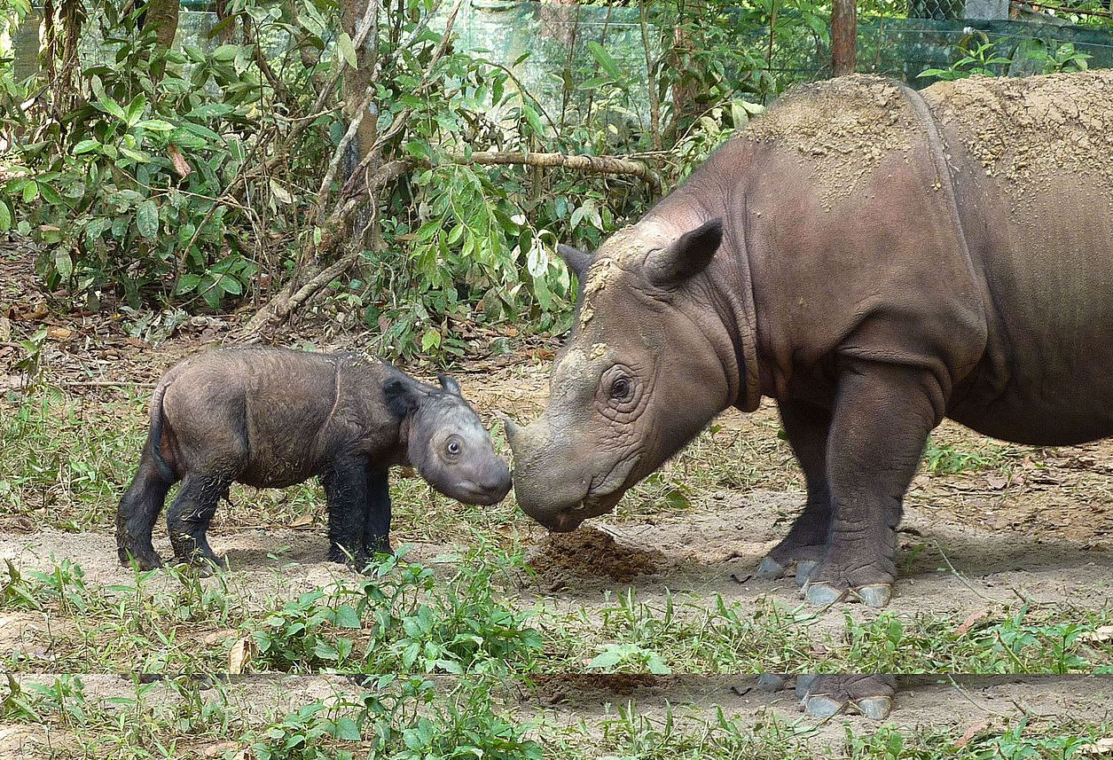 Mother, Ratu, with four-month-old Andatu at the Sumatran Rhino Sanctuary in Way Kambas National Park, Indonesia. - Image Credit:  International Rhino Foundation/Wikipedia ,  CC BY