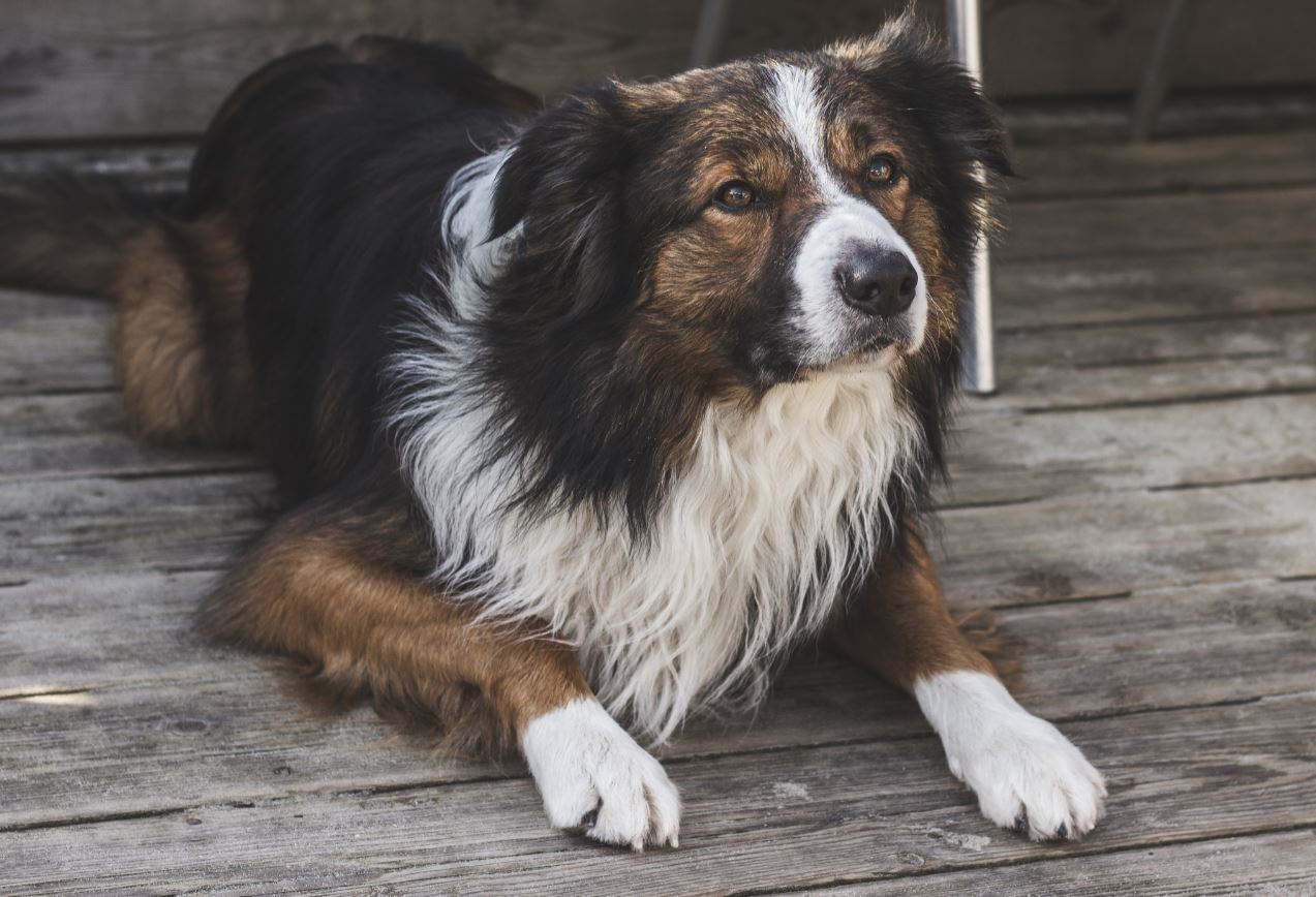 Border collies were used as part of the study - Image Credit:  Echo Grid via Unsplash