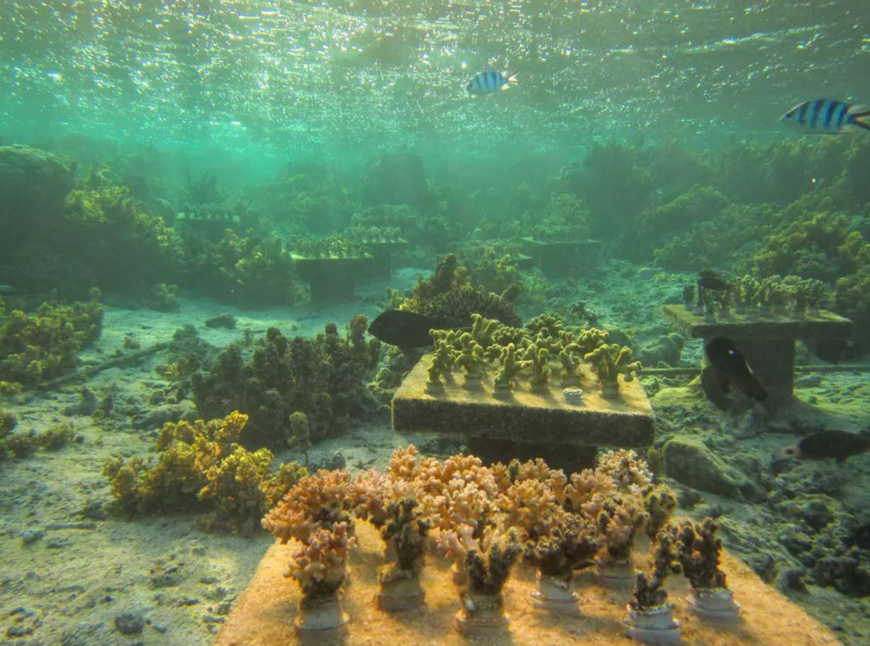 Experimental coral gardens on a degraded reef in Fiji. Gardens with a mix of coral species performed better than gardens containing only one species. - Image Credits: Cody Clements,  CC BY-ND