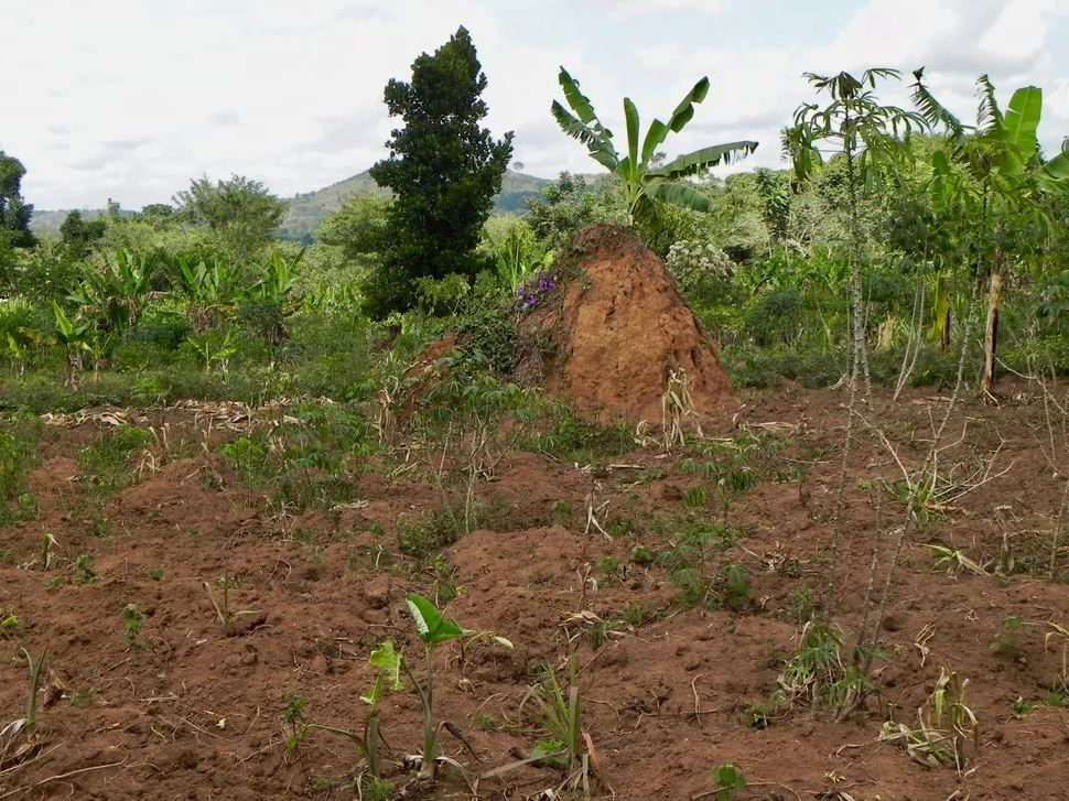 Forest restoration on small farms bordering Mpanga Forest Reserve, Uganda, can bring high levels of benefits and is relatively feasible to achieve. - Image Credits: Robin Chazdon,  CC BY-ND