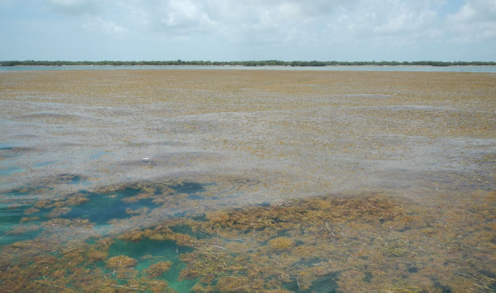 Image Credits: Sargassum off Big Pine Key in the lower Florida Keys. Credit: Brian Lapointe, Ph.D., Florida Atlantic University's Harbor Branch Oceanographic Institute