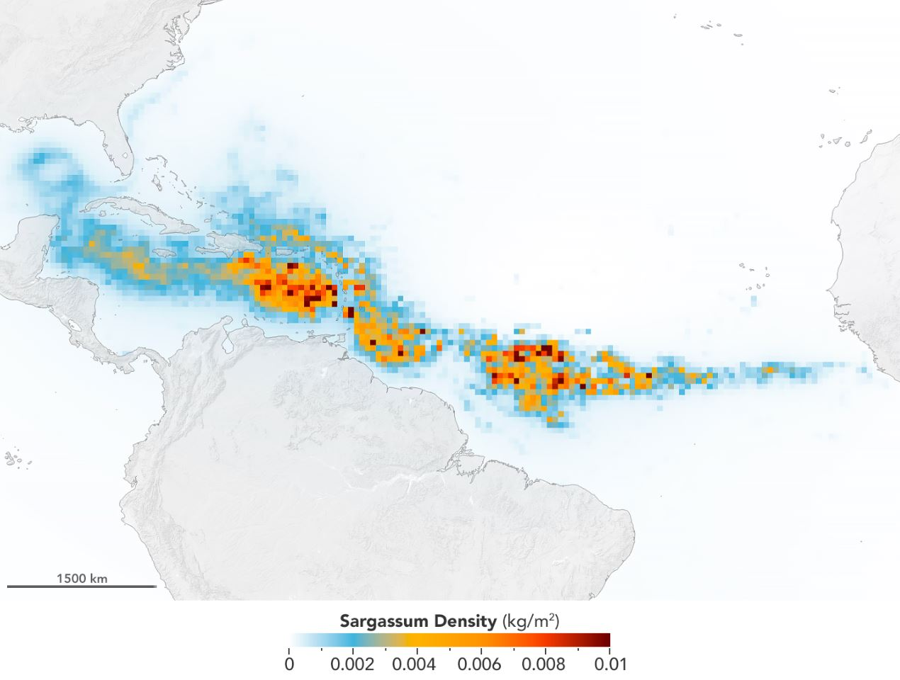 The Great Atlantic Sargassum Belt in July 2018.Scientists used NASA's Moderate Resolution Imaging Spectroradiometer (MODIS) on Terra and Aqua satellites to discover the Great Atlantic Sargassum Belt (GASB), which started in 2011. It has occurred every year since, except 2013, and often stretches from the west coast of Africa to the Gulf of Mexico. - Image Credit: NASA/Earth Observatory. Data provided by Mengqiu Wang and Chuanmin Hu, USF College of Marine Science