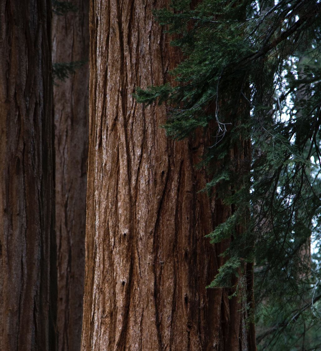 Trees absorb CO₂ from the air and store the carbon as bark and other tissue.- Image Credit:  Josh Carter via Unsplash