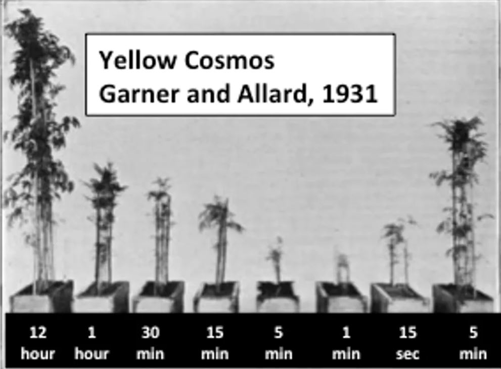A 1931 study by Garner and Allard tracked the growth of Yellow Cosmos flowers under light pulses of various durations. - Image Credits: J. Agri. Res. 42: National Agricultural Library, Agricultural Research Service, U.S. Department of Agriculture.,  CC BY