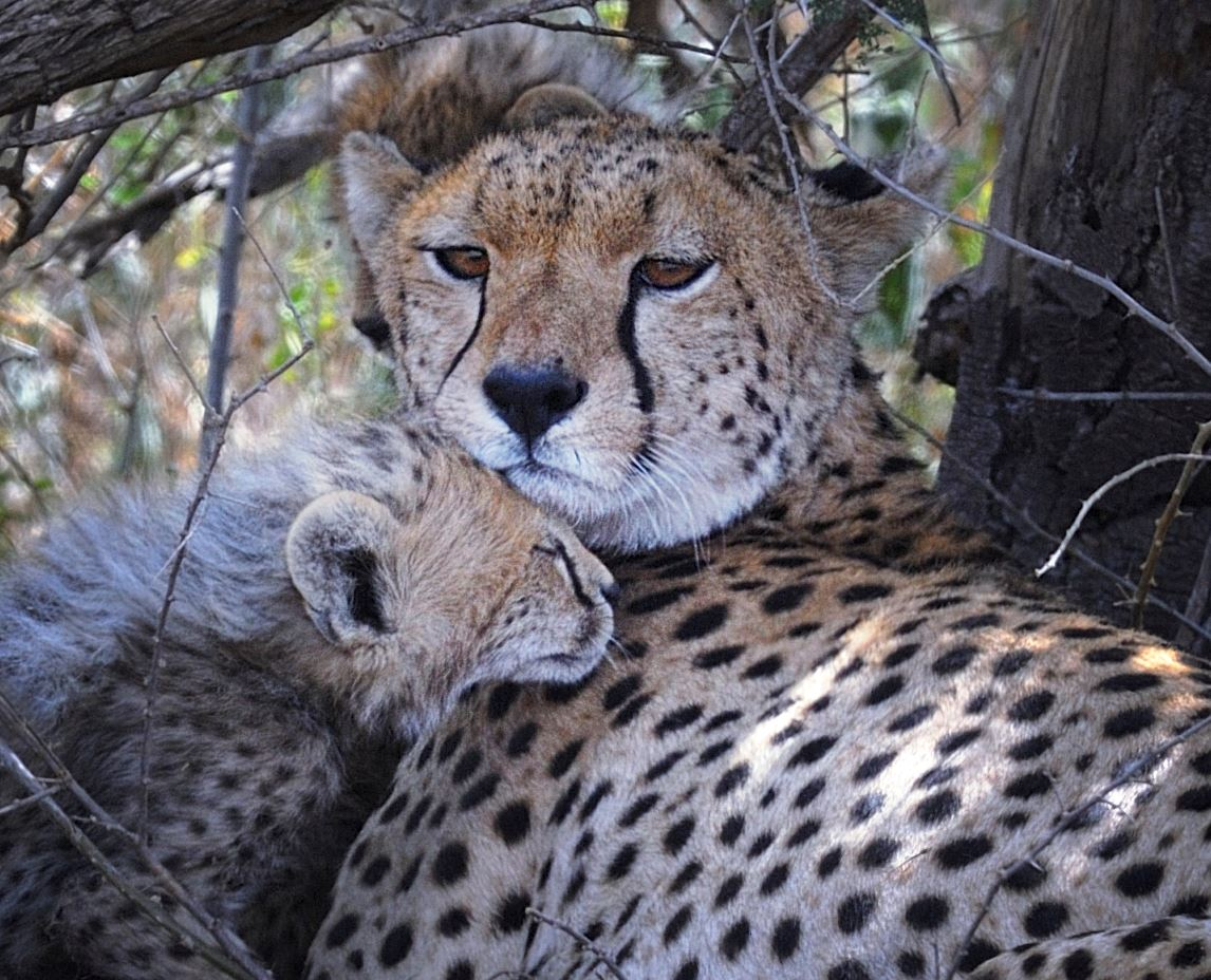 It is suggested that cheetahs may purr too.- Image Credits:  Diana Robinson/Flickr ,  CC BY-NC-ND