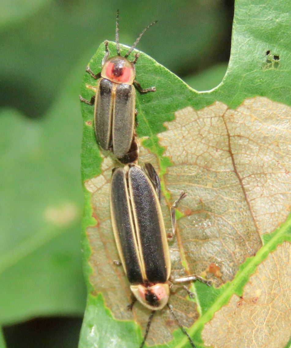 Mating  Photinus pyralis . - Image Credit: Clyde Sorenson,  CC BY-ND  - (click to enlarge)