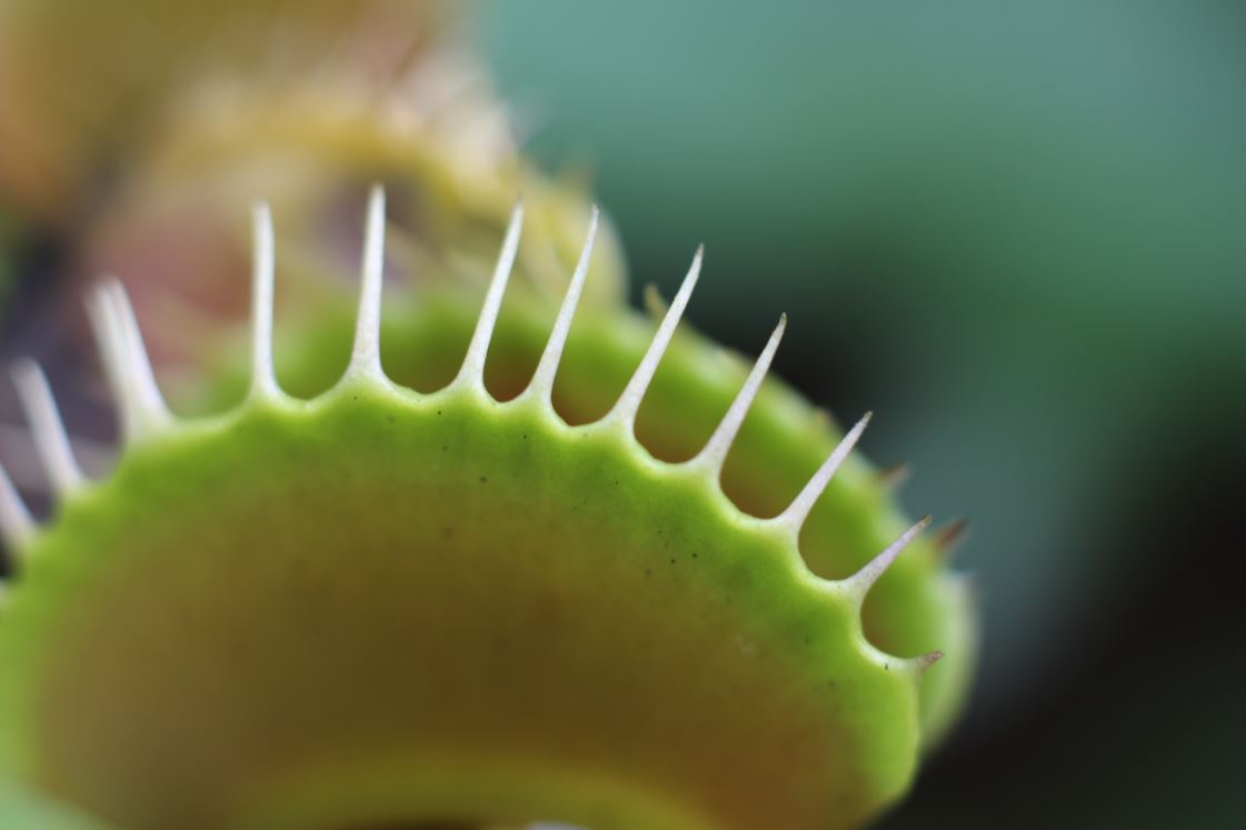 A venus flytrap - Image Credit: Jeffery Wong via Unsplash