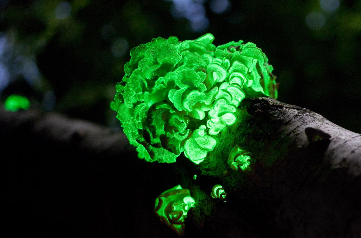 Panellus Stipticus another example of an organism that is capable of displaying bioluminescence - Image Credit:  Ylem via Wikimedia Commons
