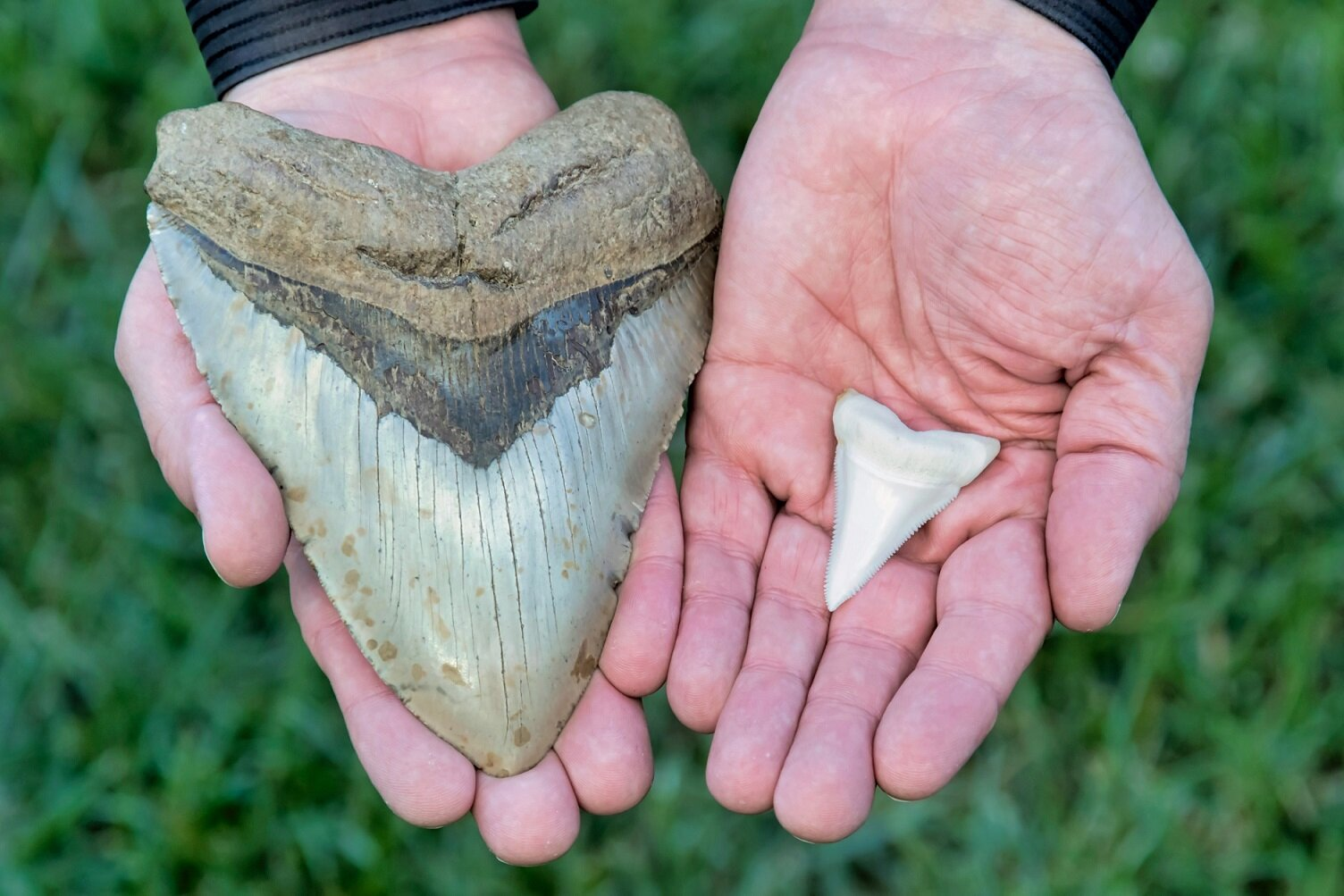 The size difference between Megalodon and modern-day great white sharks becomes apparent very quickly when holding their teeth next to each other - Image Credit: Mark_Kostich via Shutterstock - HDR tune by Universal-Sci