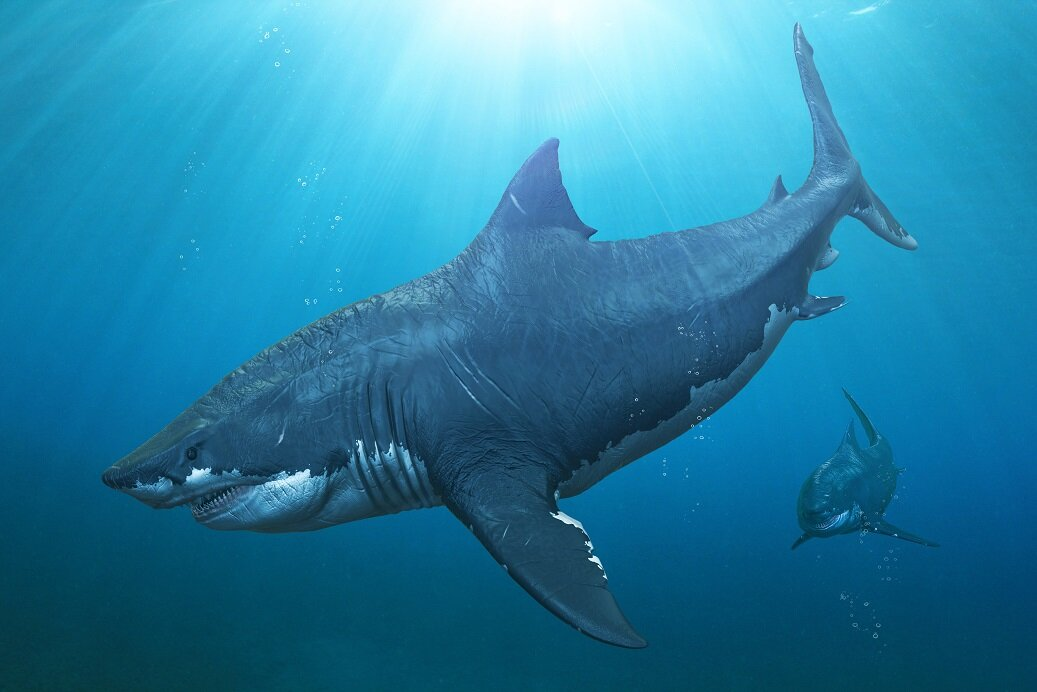 A fierce-looking creature - One of the main interpretations of how Megalodon appeared indicates a robust-looking shark with a comparable build to contemporary great white sharks - Credit: Herschel Hoffmeyer via Shutterstock