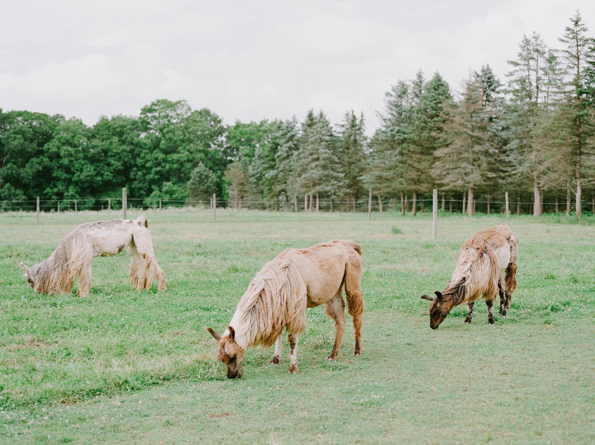 nj_alpaca-farm_wedding_inspiration-85.jpg