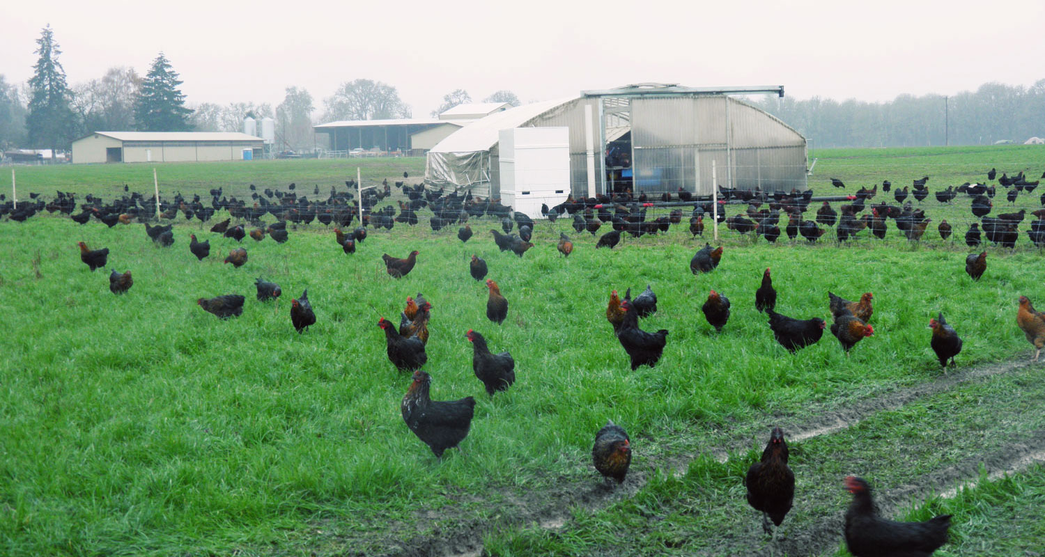 Laying hens at Vitality farms in Corvallis, OR