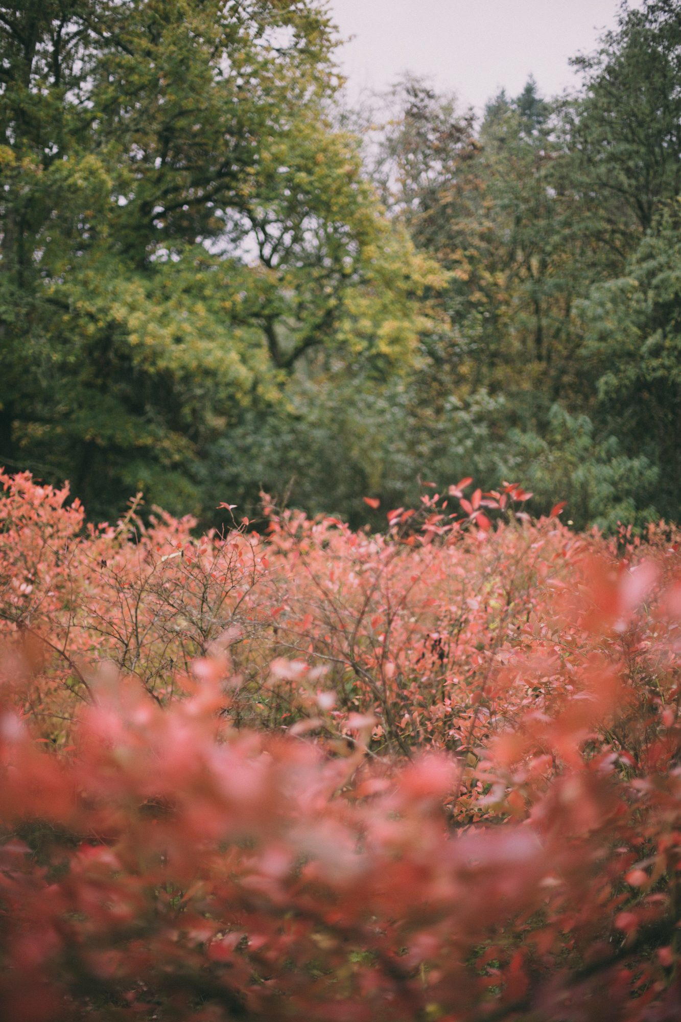 Field of red leaves.JPG