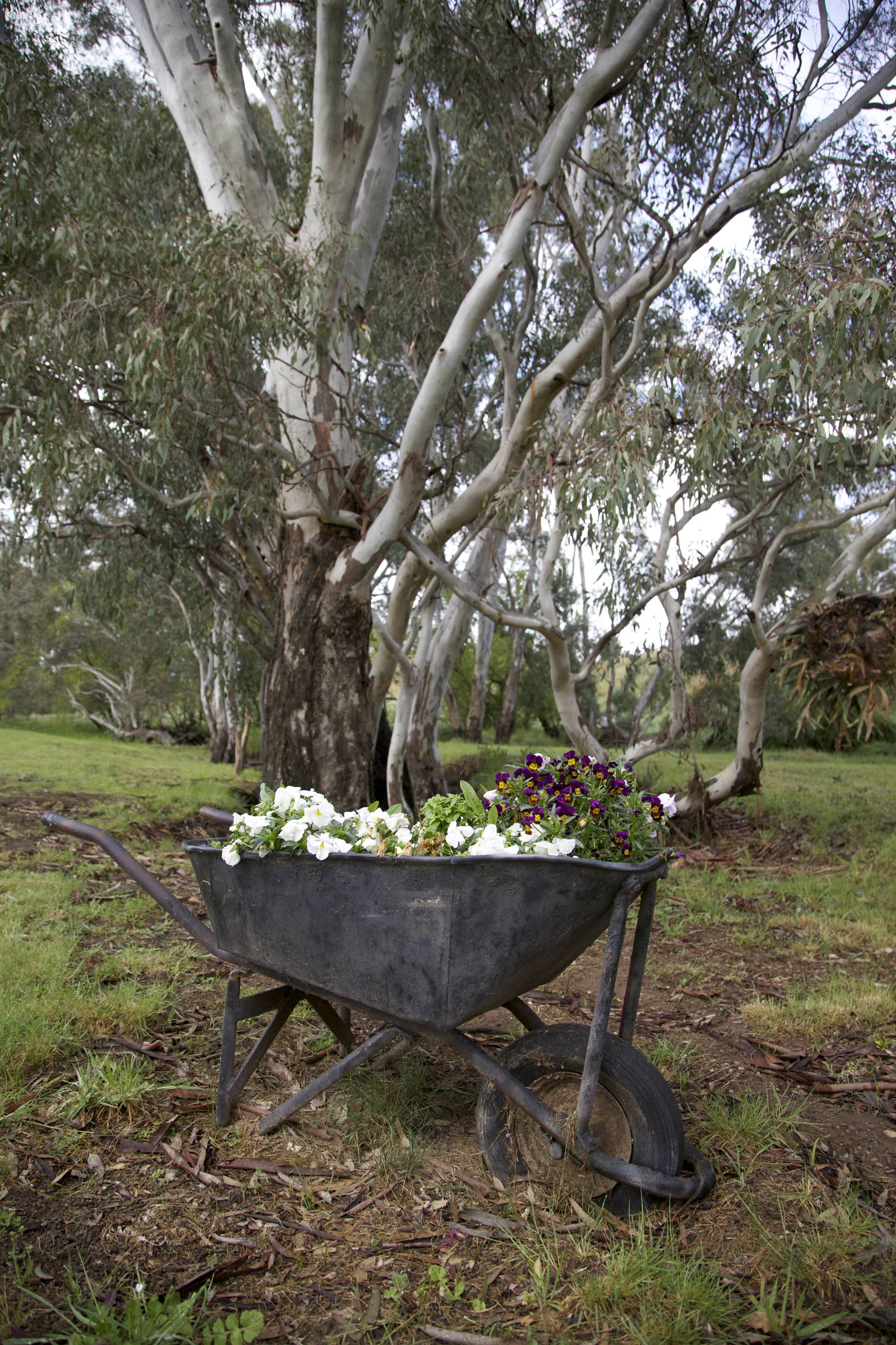 Gum trees by the creek