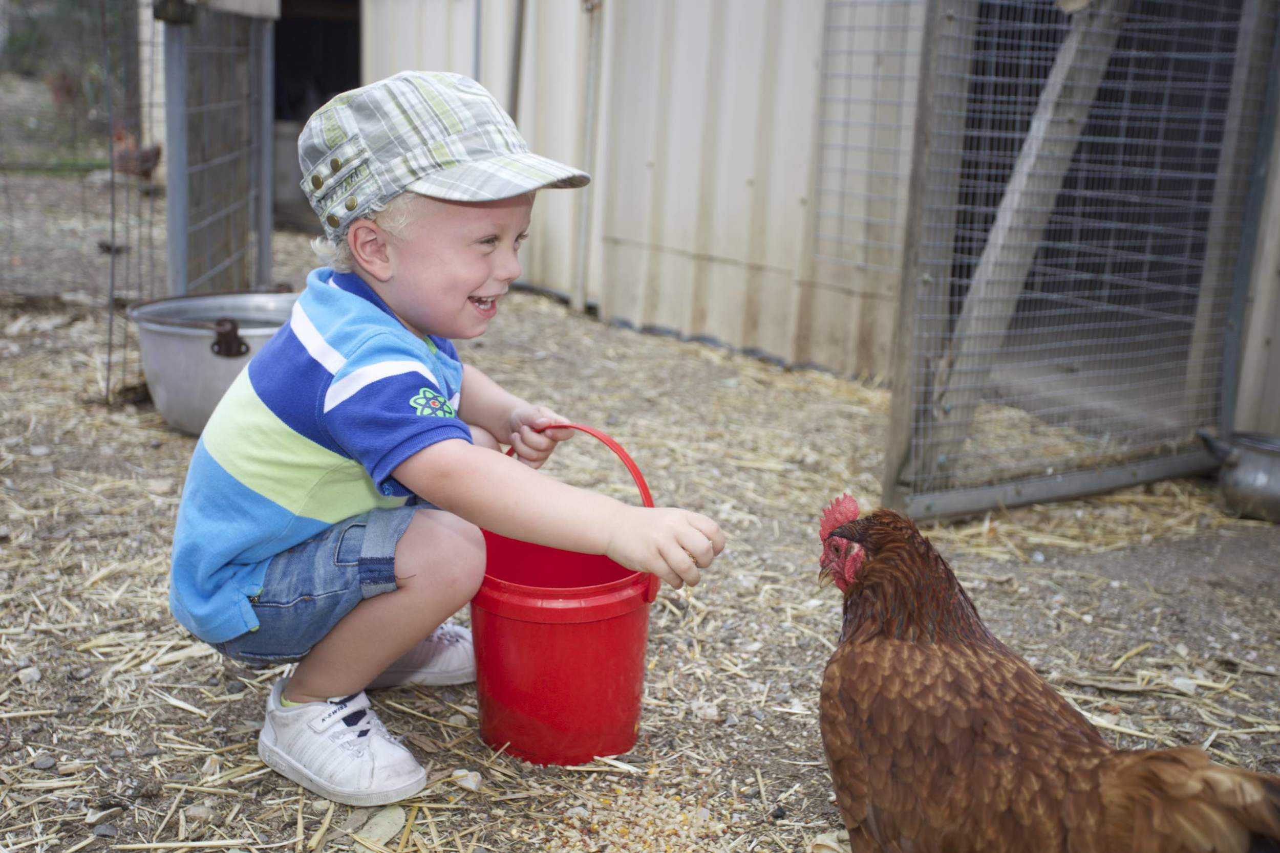 Feedingthe chickens and collecting eggs