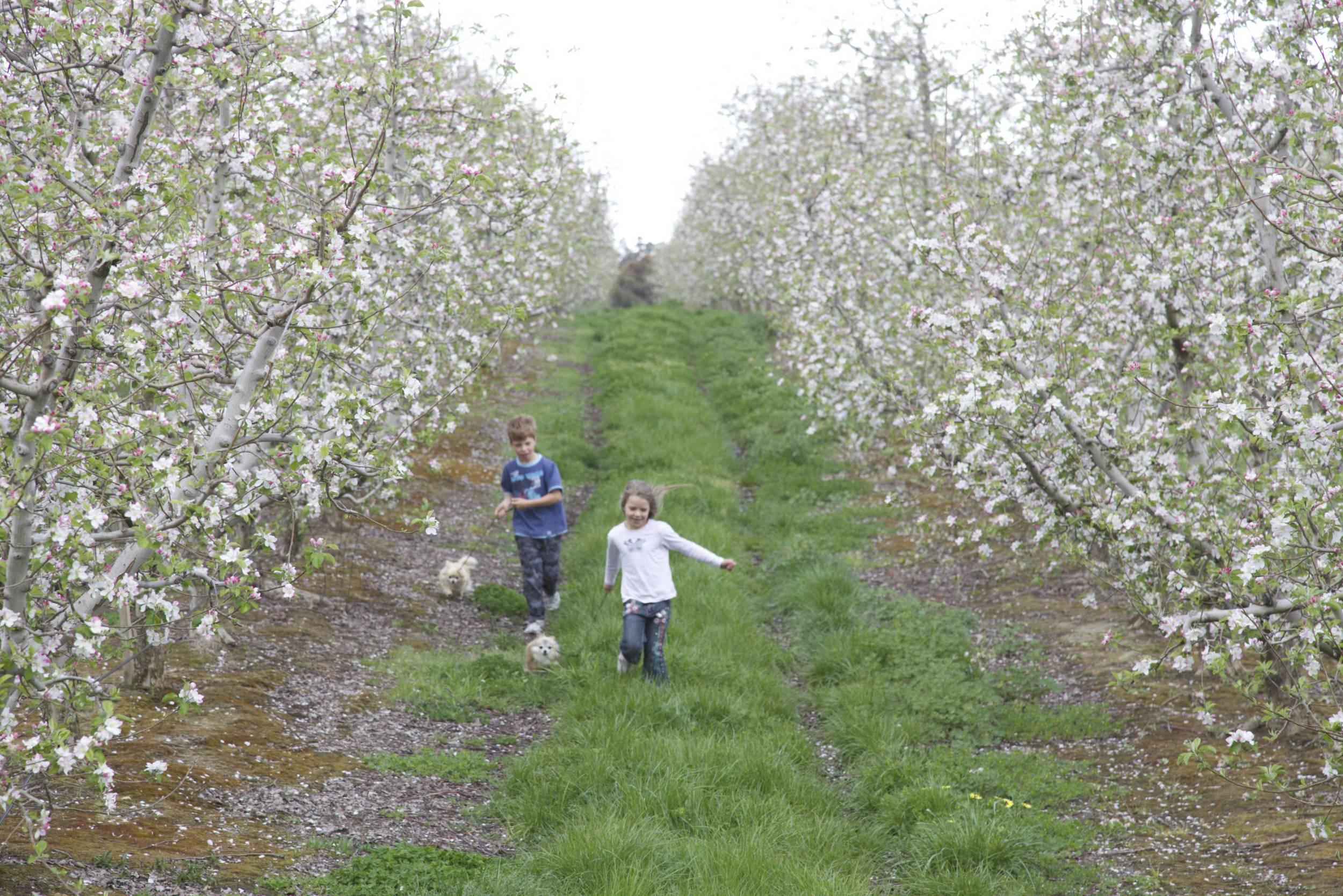 Harcourt apple blooms