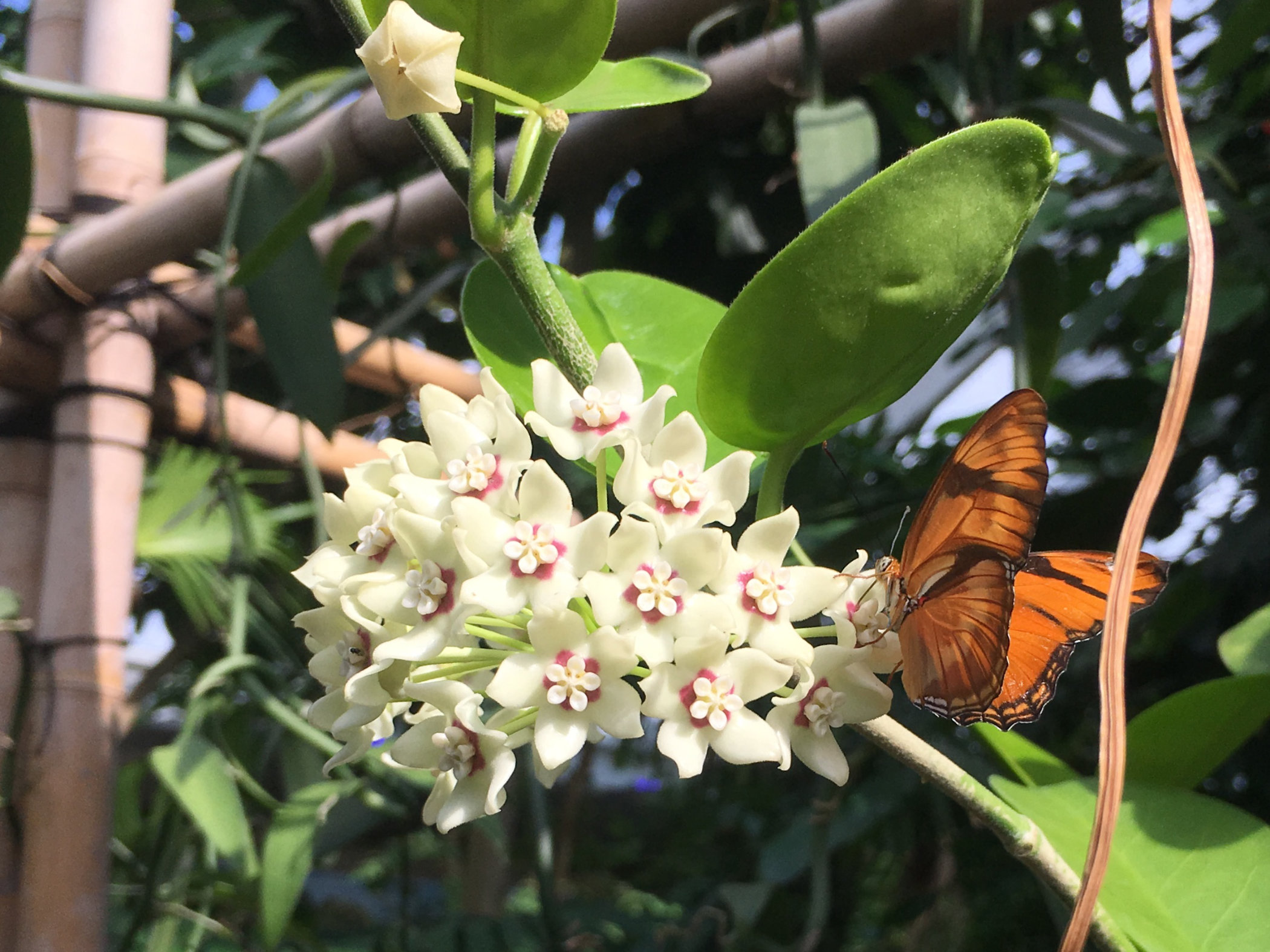 butterfly on white flowers.jpg
