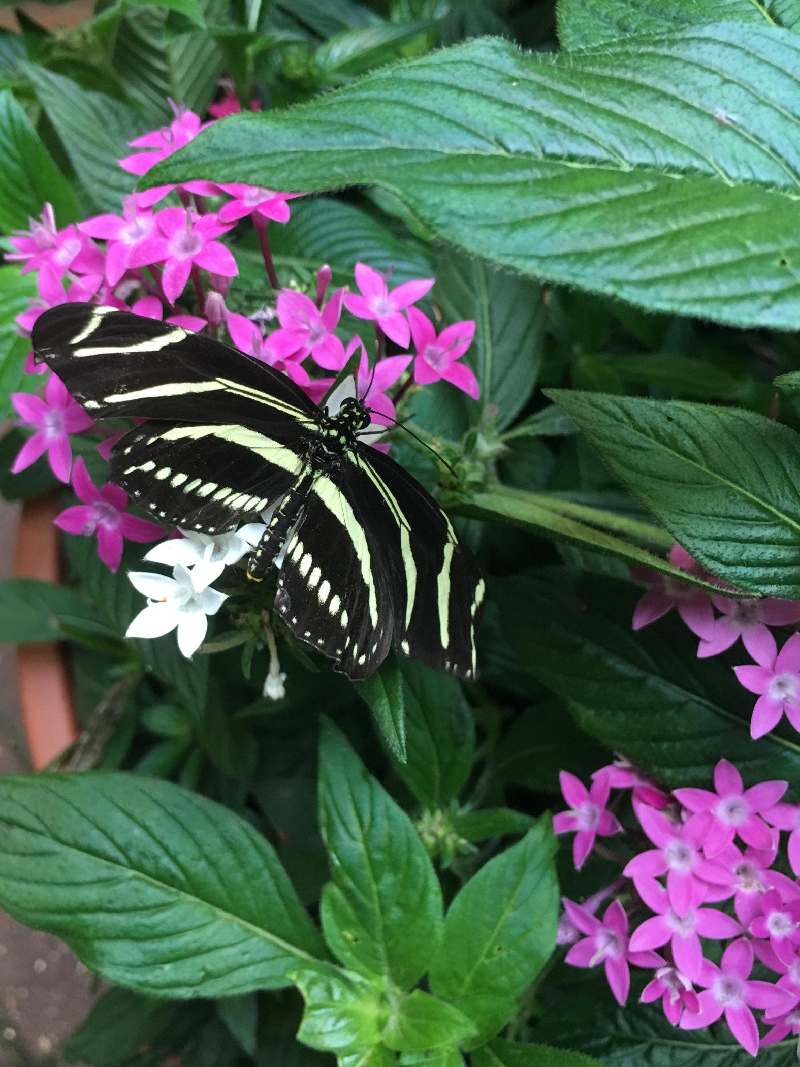 striped butterfly.jpg