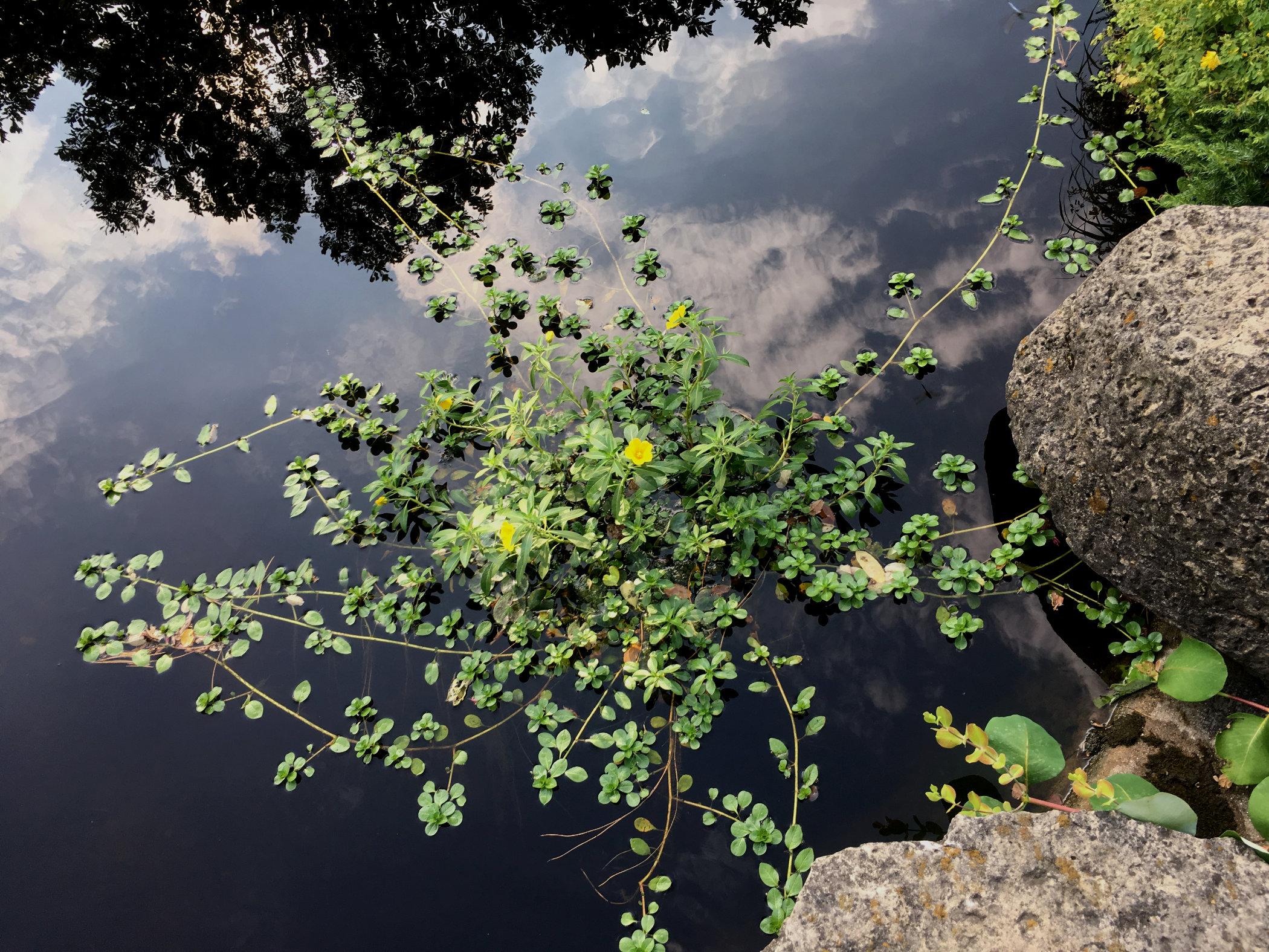 aquatic plant.jpg