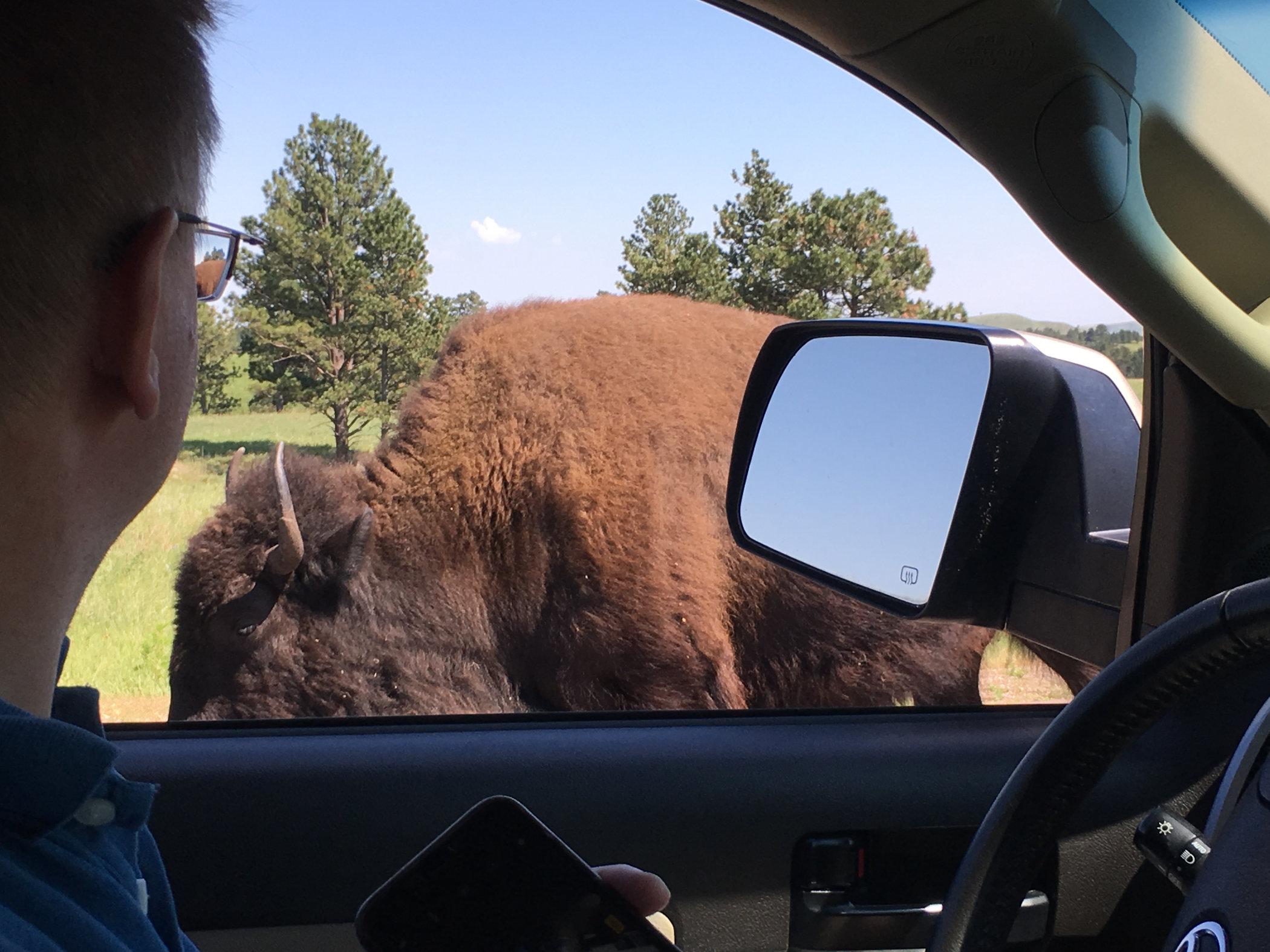 bison-at-car.jpg