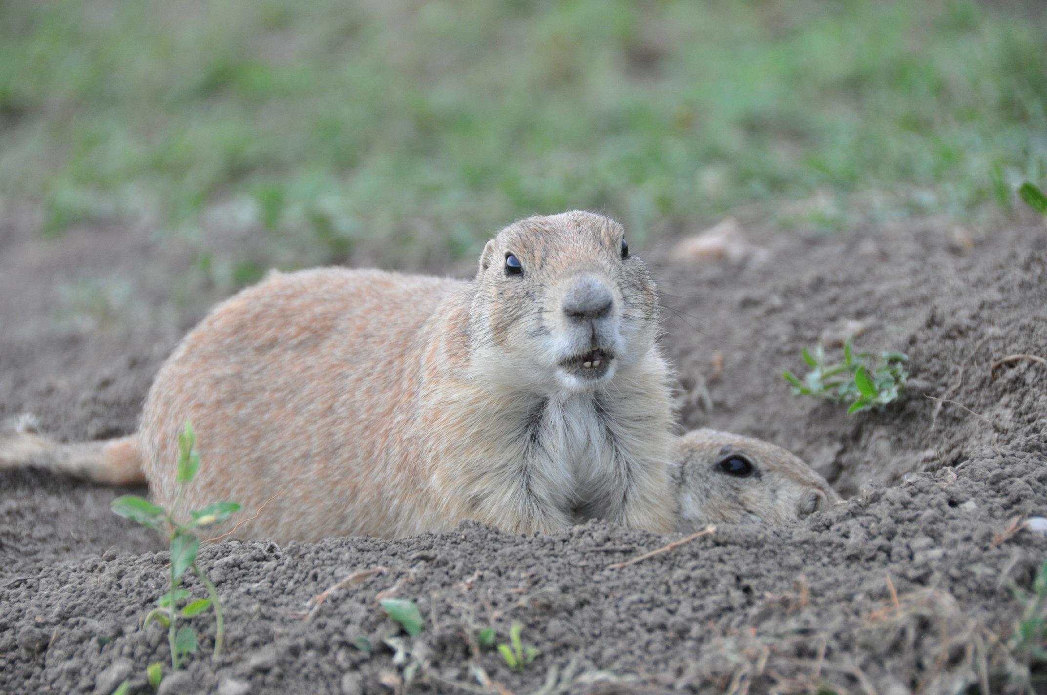 prairie-dog0.jpg