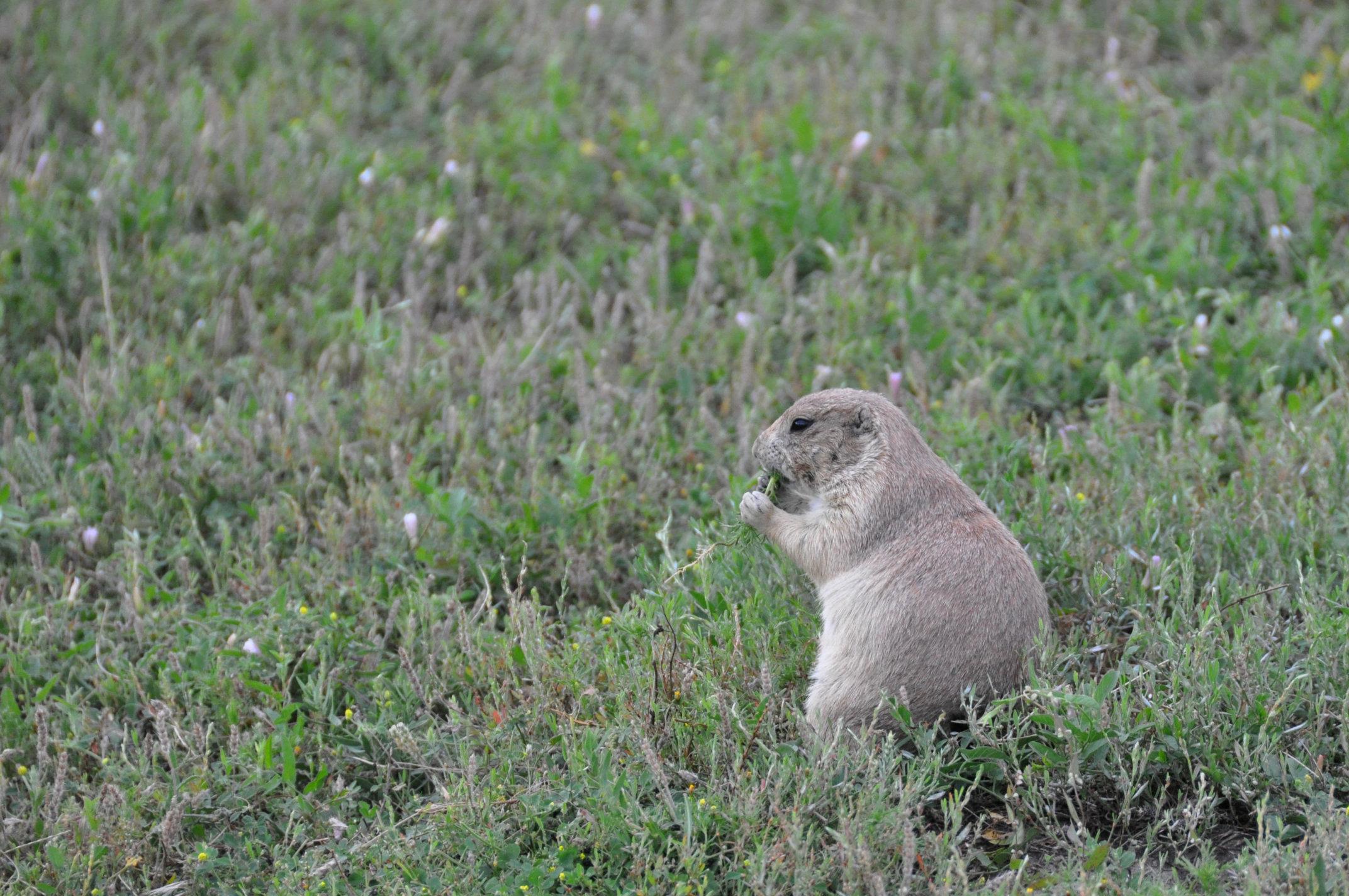 prairie-dog2.jpg