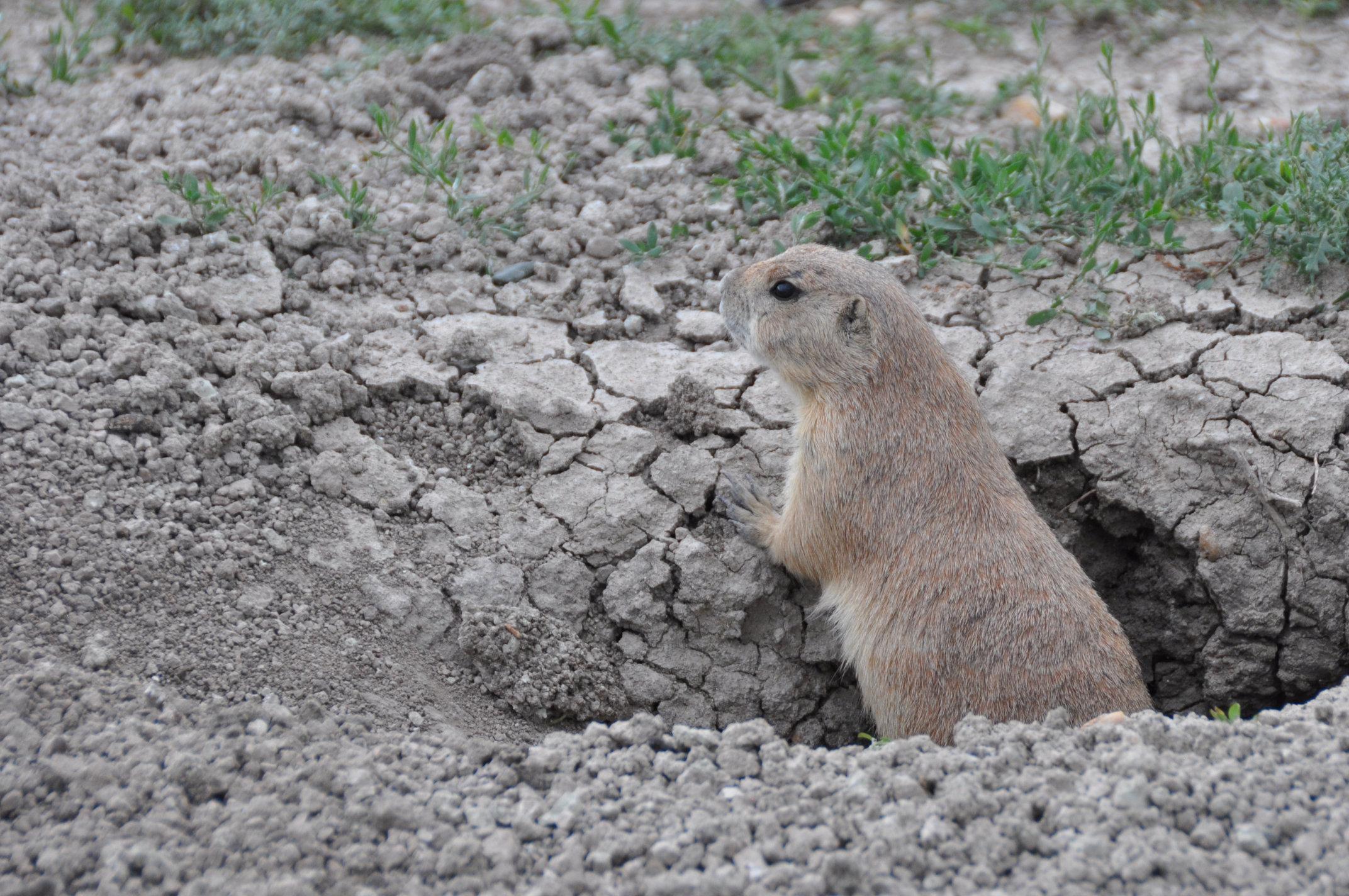 prairie-dog4.jpg