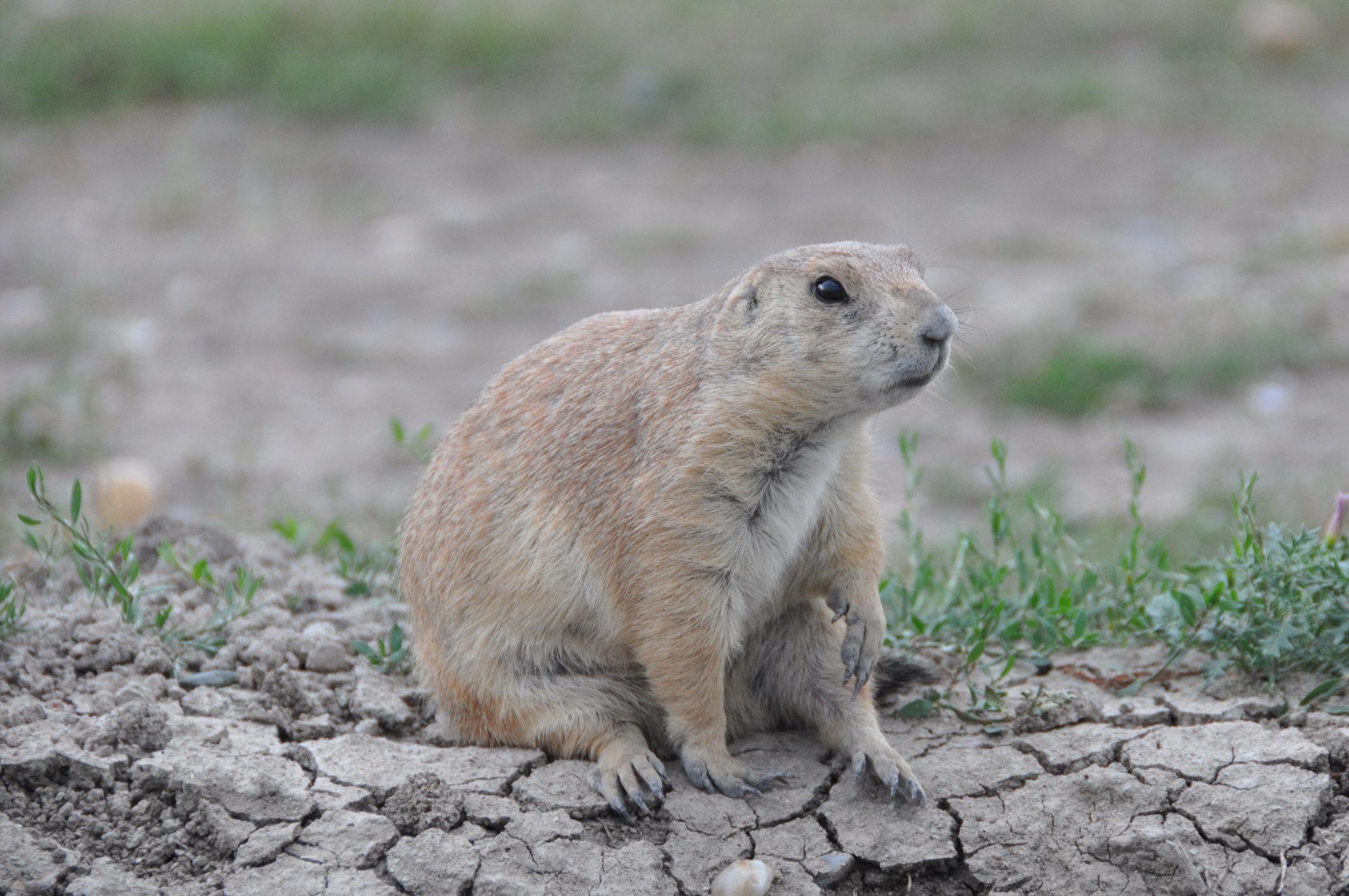 prairie-dog6.jpg