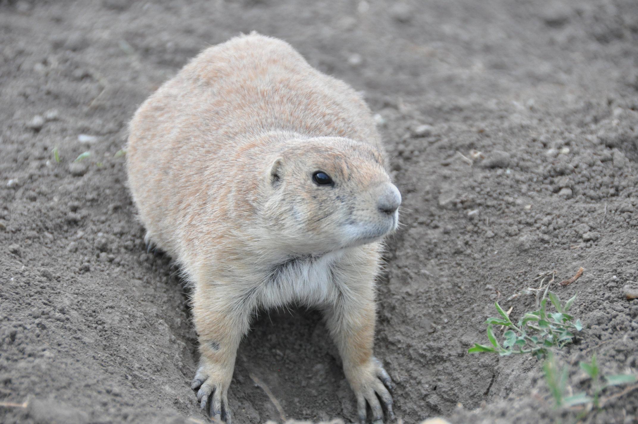 prairie-dog9.jpg