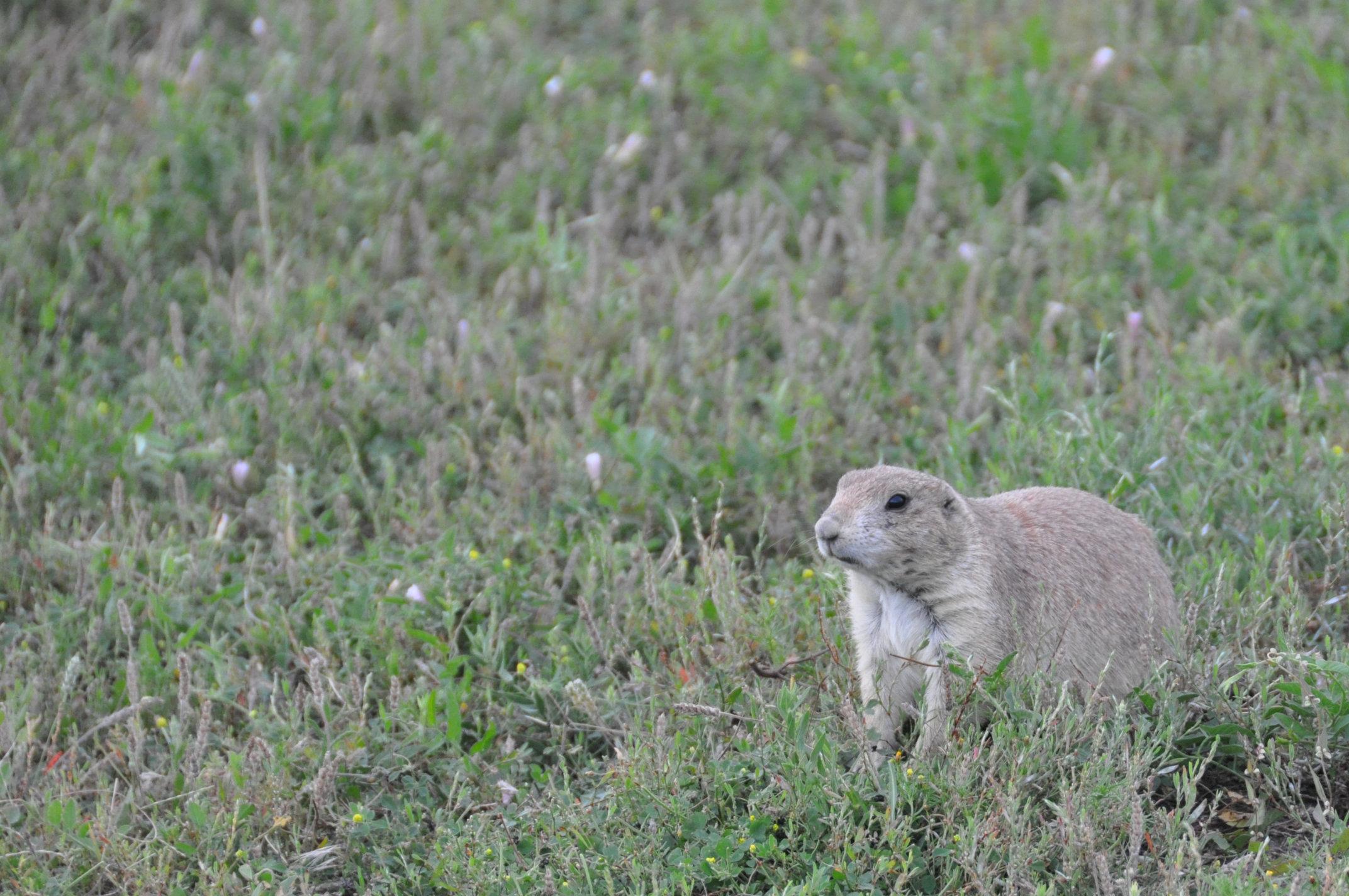 prairie-dog7.jpg